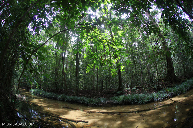 clearwater jungle creek in indonesian borneo  kalimantan