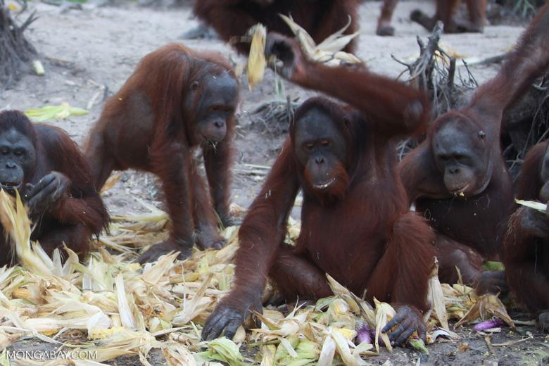 Orangutan rejects corn