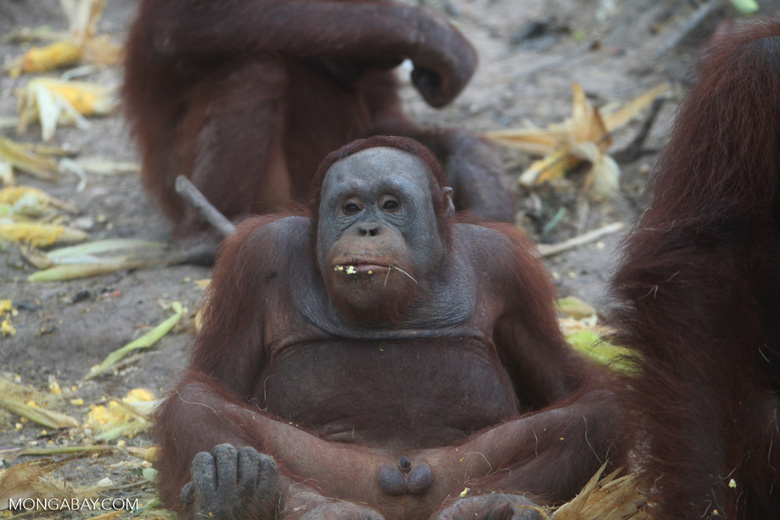Orangutan showing off his penis - Kleine prieel ...