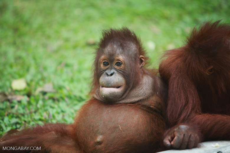 Orphaned Orangutan in Central Kalimantan [kalimantan_0511]