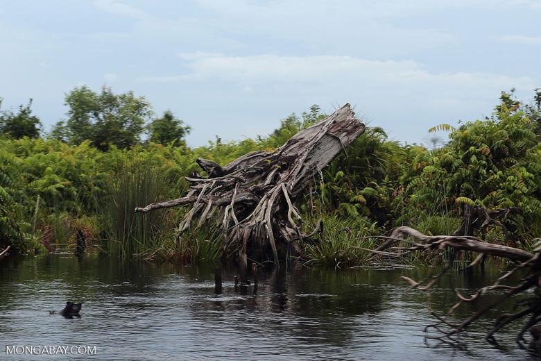 Degraded peatland in Borneo [kalteng_0526]