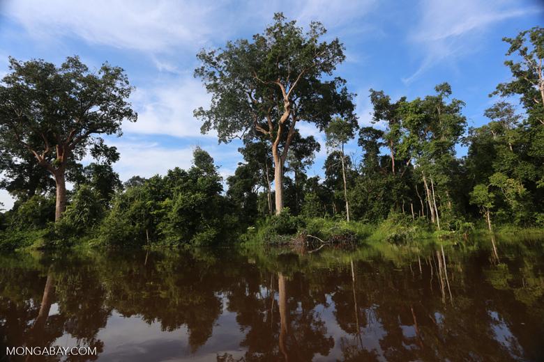 Peat forest in Borneo [kalteng_0691]