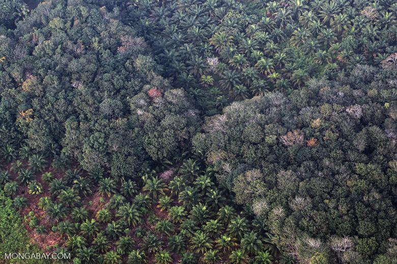 Perkebunana sawit yang perlahan menggantikan hutan alam. Foto: Rhett Butler