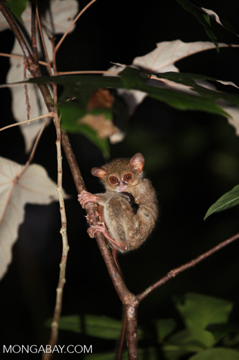 Eastern Tarsier (Tarsius tarsier)