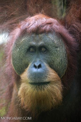 Orangutan with Large Face Plate [sumatra_0371]