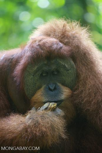 Orangutan eating bananas [sumatra_0399]