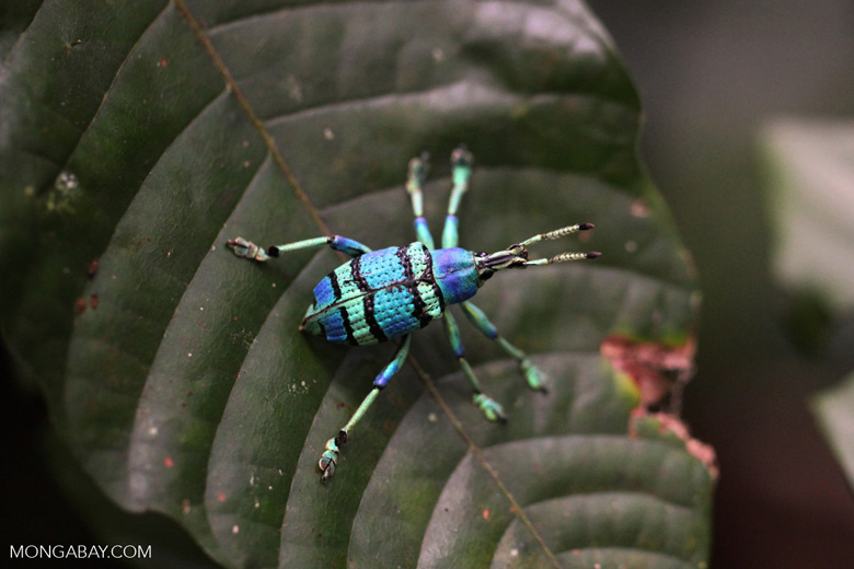 Schoenherr's blue weevil (Eupholus schoenherri - Curculionidae family), a spectacular blue and turquoise beetle from New Guinea