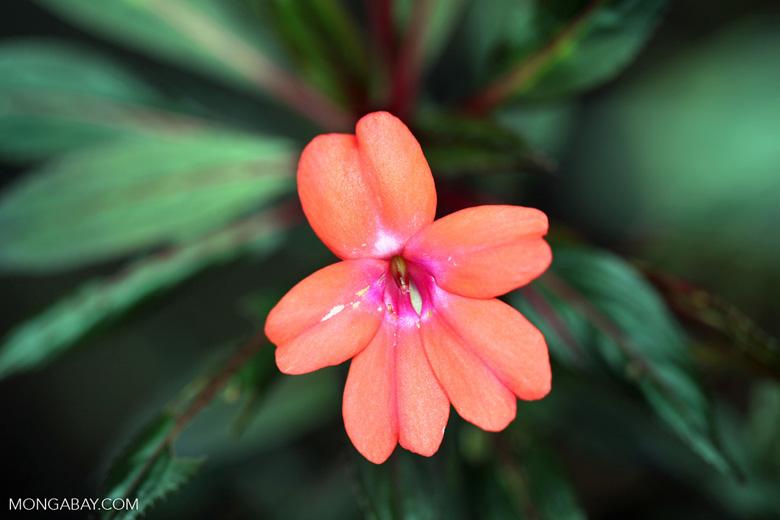 Orange-pink flower