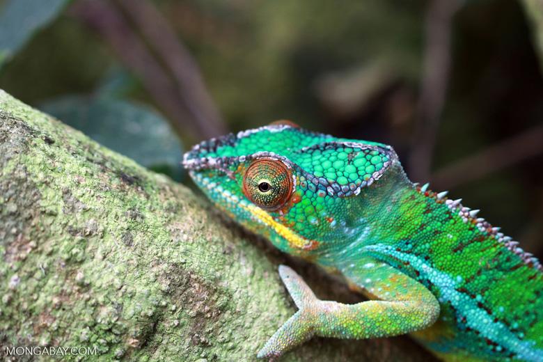 Male panther chameleon (Furcifer pardalis) [madagascar_0289]