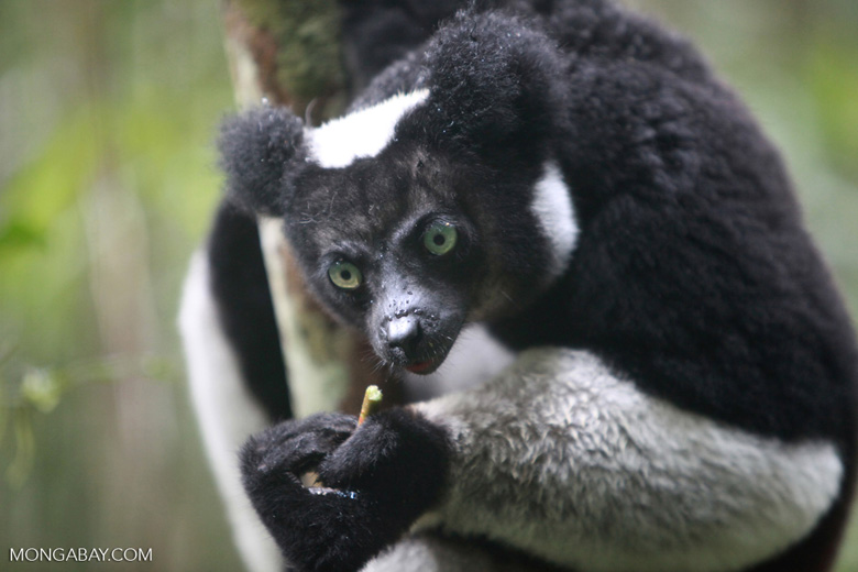 indri lemur  indri indri   madagascar 0595a