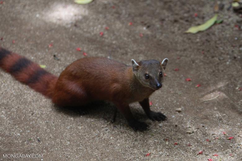 Ring-tailed mongoose (Galidia elegans) [madagascar_4016]