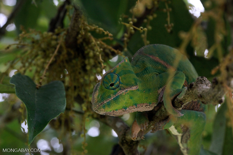 Rainforest Chameleon (Furcifer balteatus) [female]
