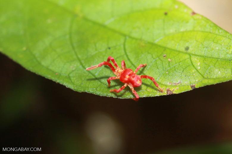 pink and orange spider looking mite acari
