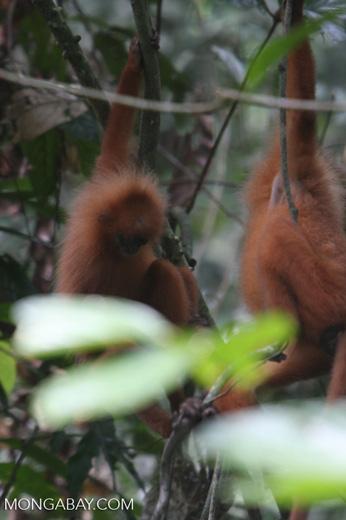 Red Leaf-monkey (Presbytis rubicunda) -- borneo_3167