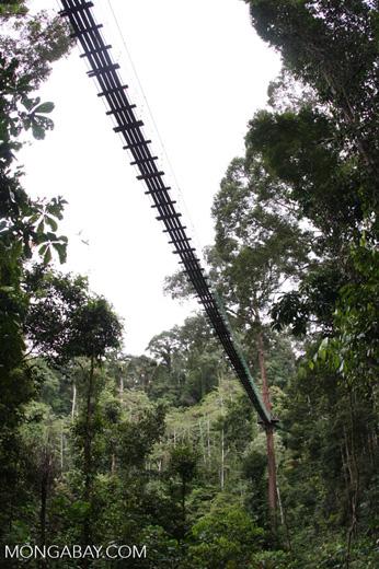 Danum Valley canopy walkway -- borneo_4009