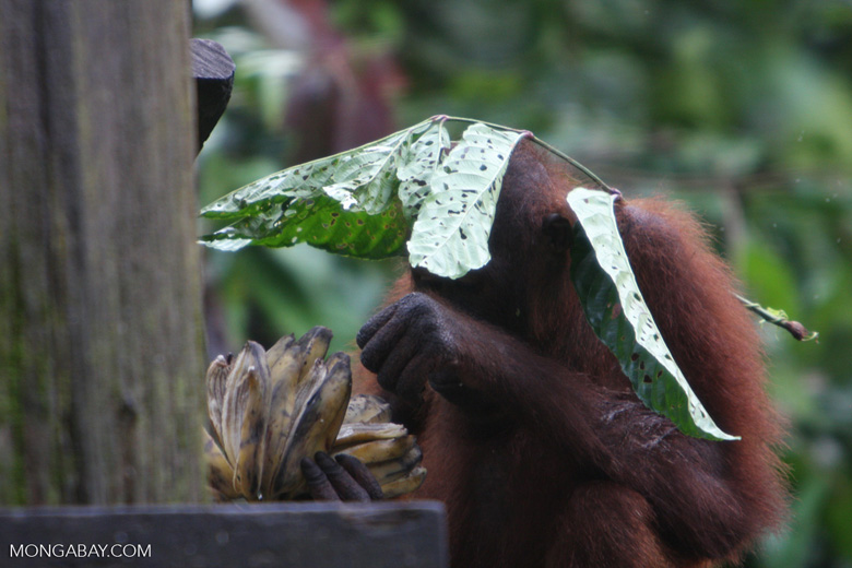 Orangutan with a leaf umbrella