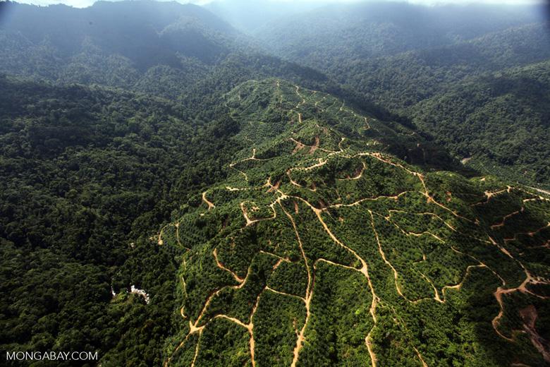 Oil palm plantation -- sabah_0934