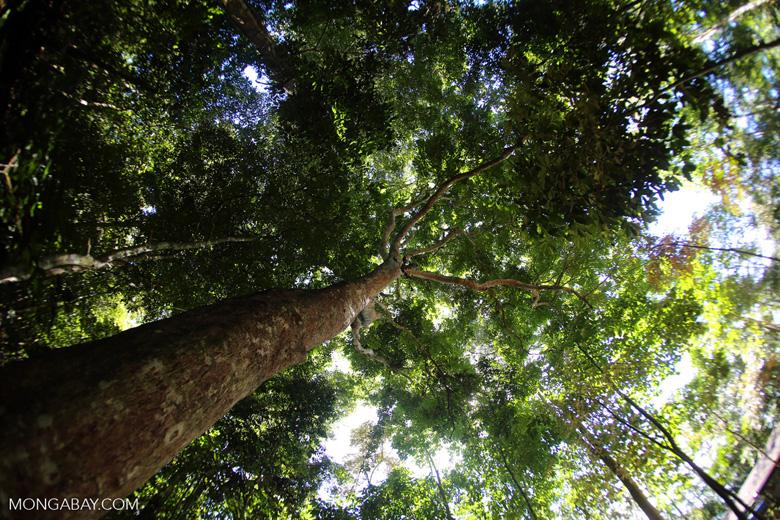 Rainforest dipterocarp
