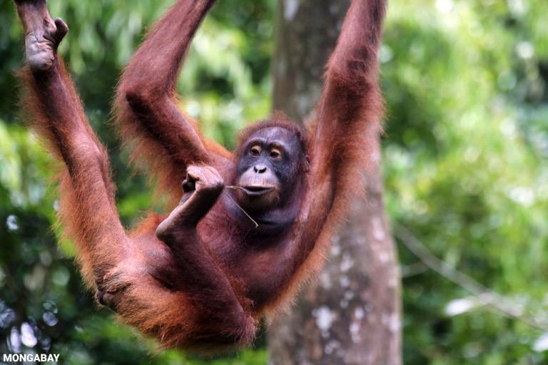 Borneo orangutan at Sepilok Rehabilitation Center -- sabah_3938