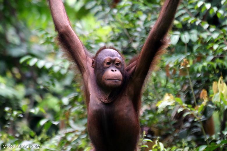 Borneo orangutan at Sepilok Rehabilitation Center -- sabah_3950