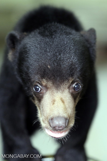 Baby sun bear at a rehabilitation center -- sabah_4060