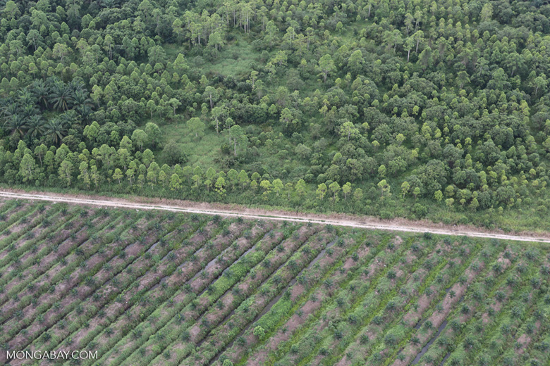 Timber plantation next to an oil palm plantation