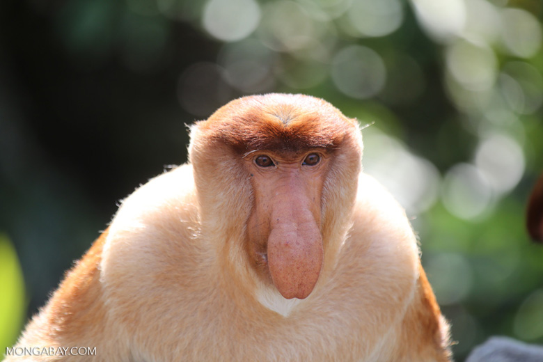 Male proboscis monkey (photo)