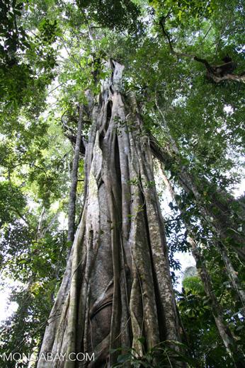 Giant Stranger Fig Ficus Sp