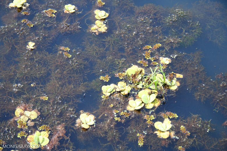 Foxtail aquatic plant and water lilies growing in natural habitat