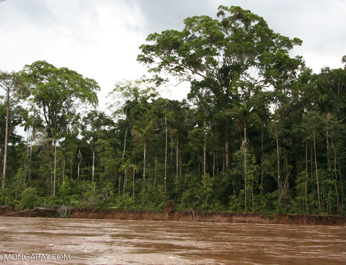 Forest along bank of Tambopata river