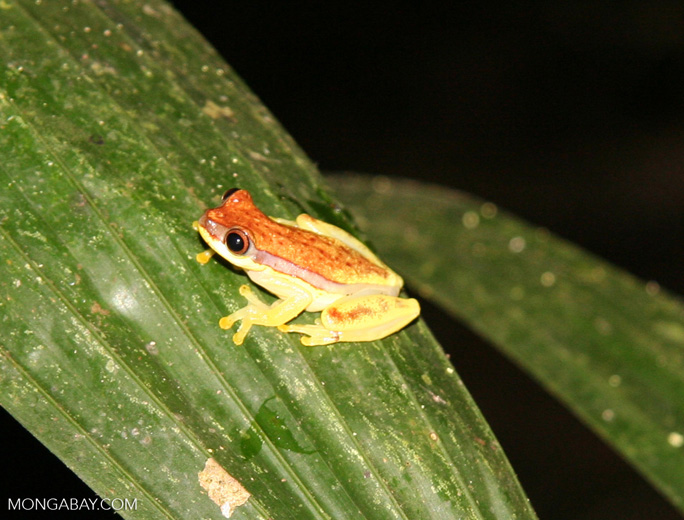 Hyla rhodopepla treefrog on leaf
