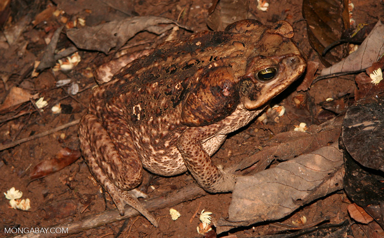 Cane toad (Bufo marinus) in the wild