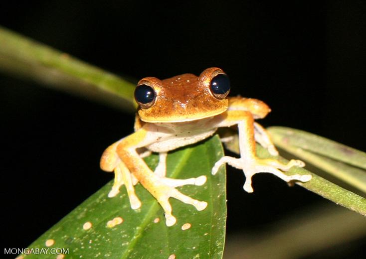 Hyla tree frog species