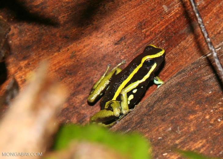 Three-striped Poison dart frog (Epipedobates trivittatus)