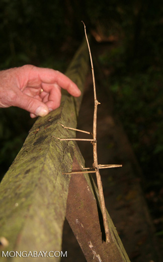 Giant walking stick insect with a person's hand for scale