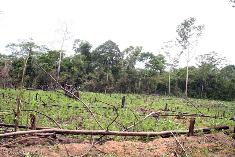 Rainforest cleared for maize