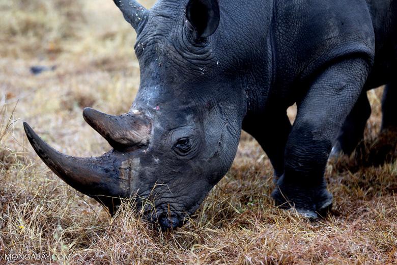 White rhino in South Africa (photo)