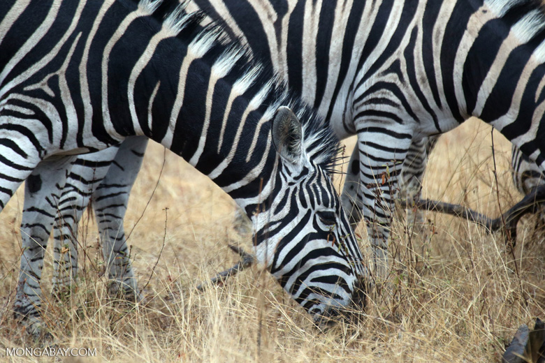 Plains zebra in South Africa (photo)