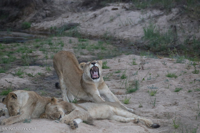 Yawning lion cub (photo)