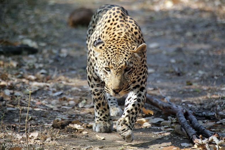 Leopard stalking its prey (photo)