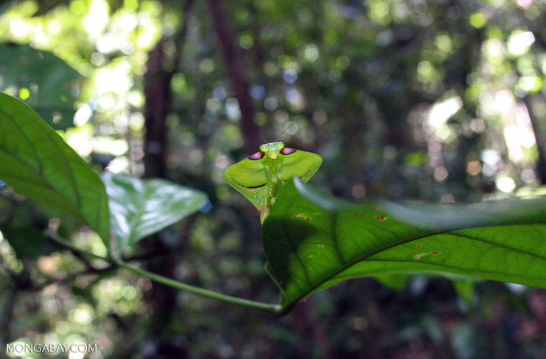 A giant leaf-mimicking praying mantis (photo)
