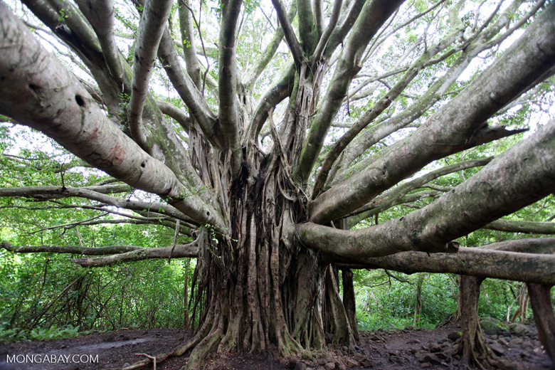 banyan tree research essay Banyan tree essay sample  this study focuses on banyan tree  to do this enlargement sustainably and efficaciously the hotel has to make research about market.