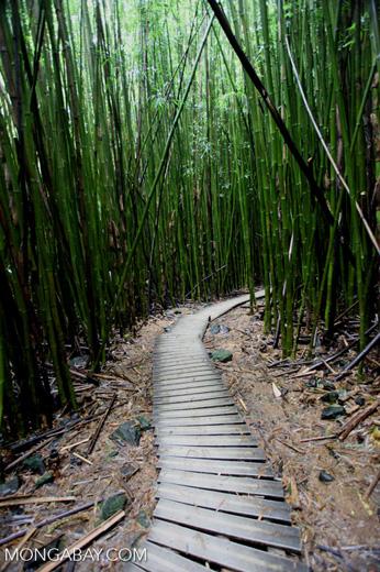 Path through Haleakala bamboo forest