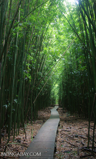 Bamboo forest on the Pipiwai trail