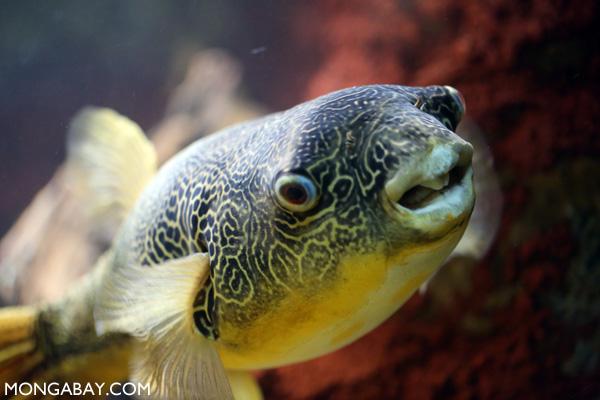 Congo river pufferfish
