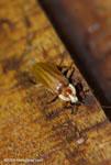 Firefly, Lighting Beetle, family Lampyridae [costa-rica-d_0021]