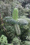 Strange rainforest palm