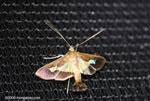 Strange moth [costa-rica-d_0348]