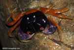 Pacific land crab (Cardisoma armatum), a red, orange, and purple 'jungle crab'