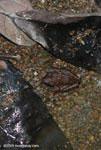Frog [costa-rica-d_0470]